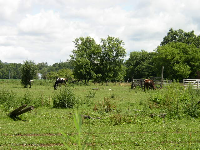 Cows in my backyard